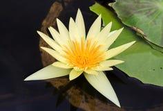 Água amarela do lírio Fotos de Stock Royalty Free