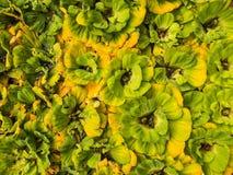 Água amarela verde Fern Crowd Foto de Stock Royalty Free