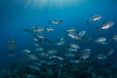 Água azul e educação de jaques do Bigeye fotos de stock