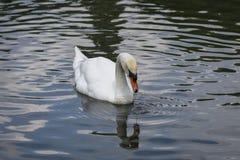 Água bebendo da cisne branca Foto de Stock Royalty Free