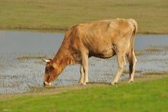 Água bebendo da vaca Imagens de Stock Royalty Free