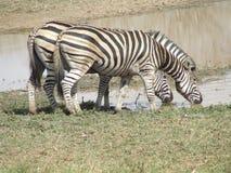 Água bebendo da zebra Foto de Stock