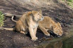 Água bebendo de dois leões Fotos de Stock
