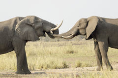 Água bebendo de elefante africano Foto de Stock