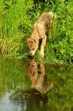 Água bebendo de filhote de cachorro de lobo com reflexões. Imagem de Stock Royalty Free