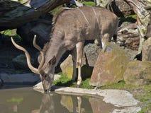 Água bebendo do antílope de Kudu imagens de stock