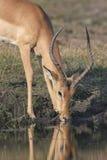 Água bebendo do fanfarrão do Impala de um rio Foto de Stock