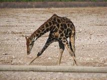 Água bebendo do Giraffe Imagens de Stock Royalty Free