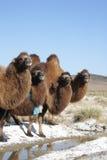Água bebendo dos camelos Imagens de Stock