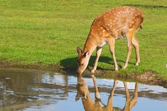 Água bebendo dos cervos Fotos de Stock