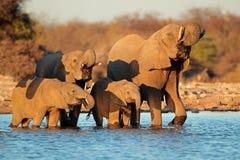 Água bebendo dos elefantes Fotos de Stock Royalty Free