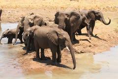 Água bebendo dos elefantes Fotos de Stock