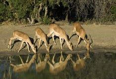 Água bebendo dos Impalas fotografia de stock