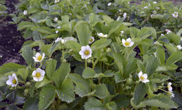 A água branca de florescência do verão da pétala do jardim da flora da flor da agricultura do close up macro selvagem das pétalas Imagem de Stock