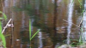 Água calma na lagoa da floresta video estoque