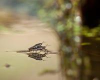 Água comum Strider durante o acoplamento imagens de stock royalty free