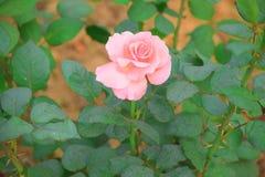A água cor-de-rosa aumentou no jardim Imagens de Stock Royalty Free