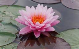 Água cor-de-rosa do lírio Foto de Stock Royalty Free