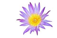 Água cor-de-rosa lilly Imagem de Stock