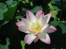 Água cor-de-rosa lilly Fotografia de Stock Royalty Free