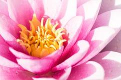 Água cor-de-rosa Lily Close Up Imagem de Stock Royalty Free