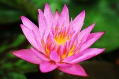 Água cor-de-rosa Lily Pink Lotus Flower Foto de Stock Royalty Free