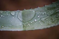 Água da agave no formulário do purista imagem de stock