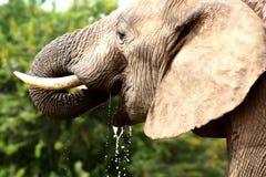 Água da bebida do elefante Foto de Stock Royalty Free