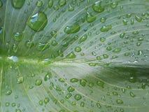 Água da folha Imagens de Stock Royalty Free