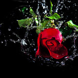 Água da gota da rosa do vermelho acima Foto de Stock Royalty Free