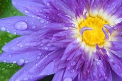 Água da gota na água cor-de-rosa Lilly Fotografia de Stock Royalty Free