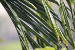 Água das gotas que cai das folhas da árvore de coco imagem de stock