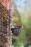 Água de copo ao látex vice da árvore da borracha Fotografia de Stock Royalty Free