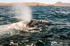 Água de sopro da baleia na baía Fotografia de Stock Royalty Free
