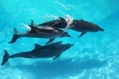 Água de turquesa da opinião de ângulo elevado de três golfinhos fotografia de stock