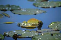 A água deixa cair lótus da almofada de lírio imagem de stock