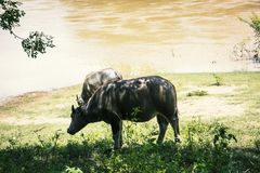 Água do búfalo exterior Fotos de Stock Royalty Free