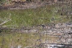 Água do pântano e flora seca fotos de stock royalty free