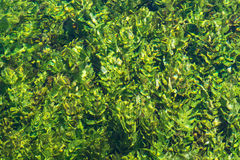 Água do rio de fluxo do verde esmeralda com seewead, backgro abstrato Foto de Stock Royalty Free