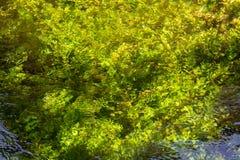 Água do rio de fluxo do verde esmeralda com seewead, backgro abstrato Fotografia de Stock