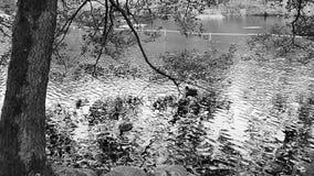Água e patos video estoque