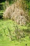 Água e plantas do pântano Fotos de Stock
