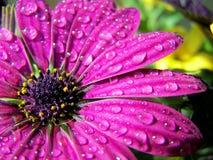 Água em uma flor Imagens de Stock
