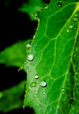 Água fresca na folha Foto de Stock