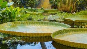Água gigante lilly fotos de stock royalty free