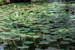 Água Greeny Lillies & plantas aquáticas fotografia de stock royalty free