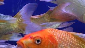 Água japonesa do ofício dos peixes Fotografia de Stock