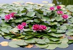 Água-lírio 1 foto de stock royalty free