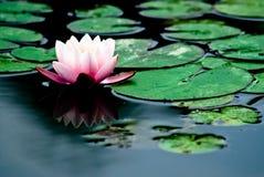 Água-lírio Imagens de Stock Royalty Free