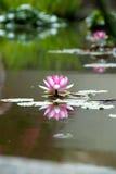 Água-lírio Fotografia de Stock